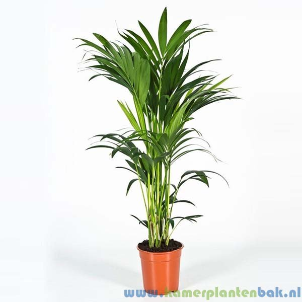 Kentia Howea palm (5pp) Ø 21 ↨ 100