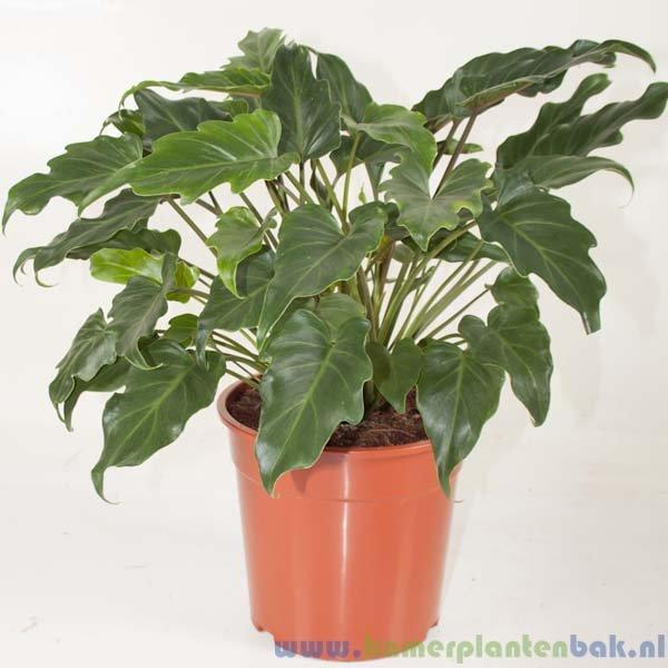 Philodendron Xanadu Ø 24 ↨ 60
