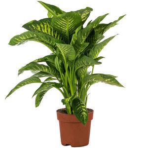 Dieffenbachia Tropic Snow kamerplant