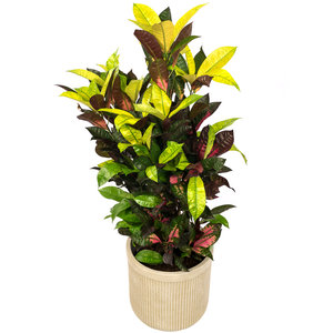 Croton Iceton in luxe pot