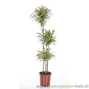 Kamerplant Dracaena Surprise makkelijke kamerplant kopen