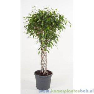 Kamerplant Ficus Benjamina Exotica dubbele spiraalstam kopenKamerplant Ficus Benjamina Exotica Kokerstam kopen