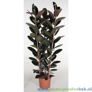 Kamerplant Ficus Elastica Abidjan kopen