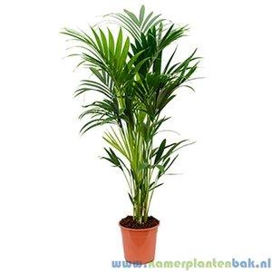 Kamerplant Kentia Palm (Howea Forsteriana) 6pp kopenKentia Palm (Howea Forsteriana) 6pp kopen
