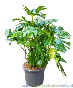 Philodendron Monstera Deliciosa kopen