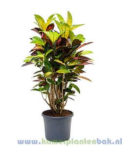 Kamerplant Croton (Codiaeum) Mrs Iceton kopen