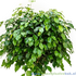 Ficus benjamina exotica blad